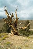 Ancient Bristle Pine 3
