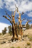 Bristle Pine 4