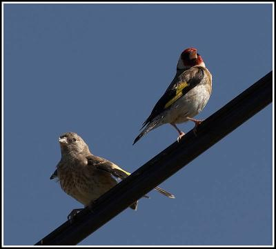 Goldfinch with young