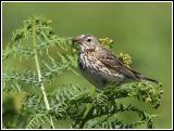 Skylark and insect