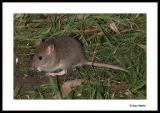 Young wild rat