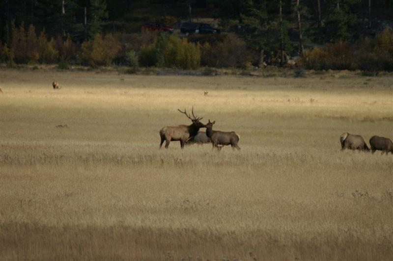 An elk kiss