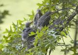 Green Herons in Nest - One Week Later