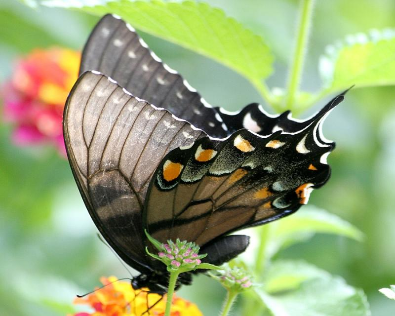 Tail of a SwallowTail
