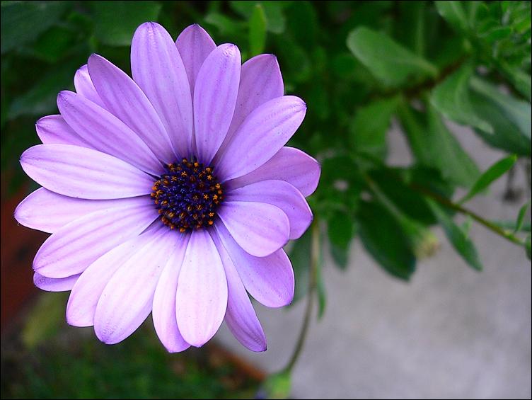 Purple Mallo