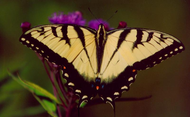 Tiger Swallowtail on Ironweed EN TB0905.jpg