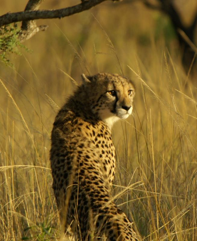 Cheetah 4.JPG