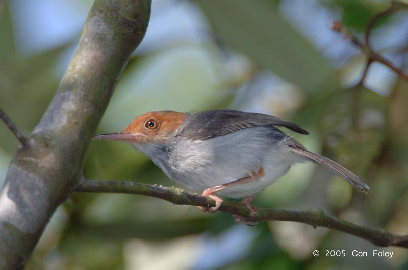 Tailorbird, Ashy (female) @ Pulau Ubin