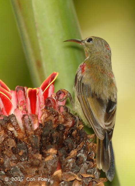 Sunbird, Crimson (juvenile male) @ MOG