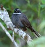 Fantail, White-throated