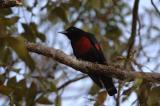 Oriole, Black-and-Crimson (male) @ Jalang Ampang
