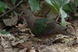 Dove, Emerald (juvenile) @ Upper Pierce