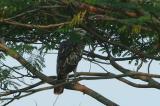 Eagle, Changeable Hawk (pale morph) @ Neo Tiew Lane 2