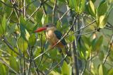 Kingfisher, Stork-Billed @ Pulau Ubin