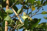 Sunbird, Brown-throated (female) @ Sungei Buloh