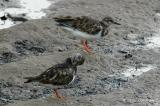 Turnstone, Ruddy (non-breeding) @ Sungei Buloh