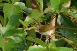 Tailorbird, Common (male) @ Upper Pierce