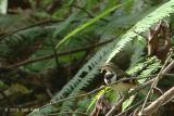 Wagtail, Forest @ Upper Pierce
