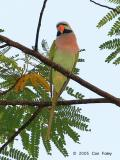 Parakeet, Red-Breasted (male) @ Stagmont Road