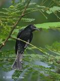 Cuckoo, Asian Drongo @ Jalan Kwok Min