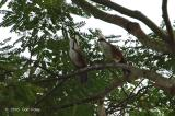 Laughingthrush, White Crested @ Neo Tiew Lane 2