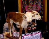 2 headed calf