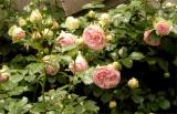 Westbury roses