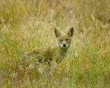 coyote7422.jpg