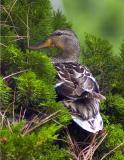 duckbush27533.jpg