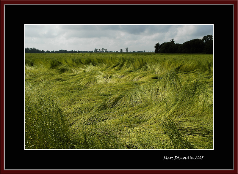 Flax field after the storm