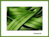 Green strap, Tavira