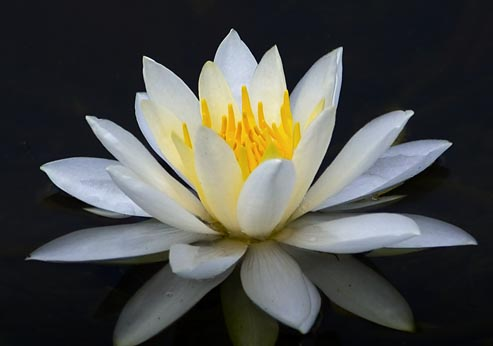 Water Lily 20050722