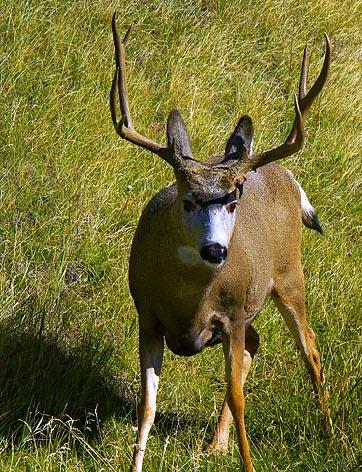 Male Deer 8275