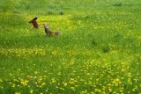 Deer in Dandelions