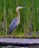 Heron on a Dock 20050624