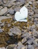 Butterfly Shot in Flight