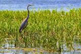Scugog River Heron 20050702