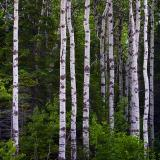 Stand of Birch 12613