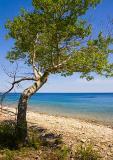 Georgian Bay Tree 13506