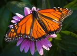 Monarch Butterfly1