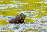 Bullfrog in River2