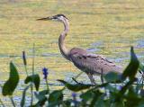 Mississippi River Heron 20050809