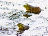 Two Bullfrogs