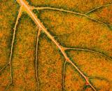 Autumn Leaf Veins 20050830