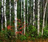 Stand of Birch 20050912