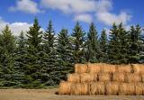 Hay Bales & Pines