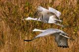 Sandhill Cranes in Flight1