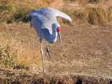 Sandhill Crane Stretching