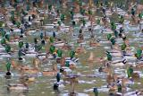 River of Ducks