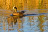 Duck at Sundown